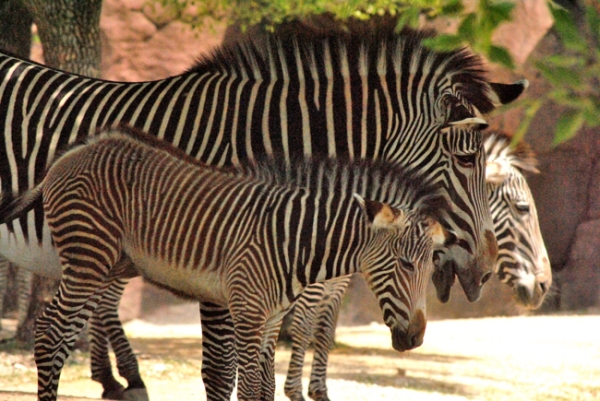 Momm and Baby Zebra