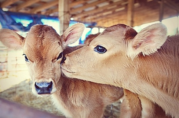 cropped-kissing-calves.jpg